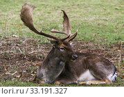 dormant fallow deer dama dama. Стоковое фото, фотограф Gerald Kiefer / PantherMedia / Фотобанк Лори