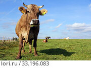 brown cattle and simmentaler cattle in the pasture. Стоковое фото, фотограф Astrid Gast / PantherMedia / Фотобанк Лори
