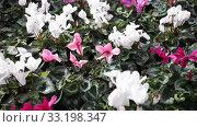 Купить «Persian cyclamen blossoming. Colorful plantation of flowers cultivated in pots in greenhouse», видеоролик № 33198347, снято 8 ноября 2019 г. (c) Яков Филимонов / Фотобанк Лори