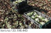 Купить «Rows of harvest of red lettuce in garden, no people», видеоролик № 33198443, снято 18 января 2020 г. (c) Яков Филимонов / Фотобанк Лори