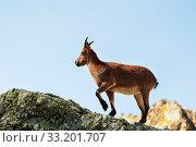 Young female alpine Capra ibex on the high rocks stone in Dombay mountains. North Caucasus. Russia. Стоковое фото, фотограф Zoonar.com/Ian Iankovskii / easy Fotostock / Фотобанк Лори