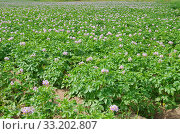 Купить «Цветущее картофельное поле летним днем», фото № 33202807, снято 14 июля 2018 г. (c) Елена Коромыслова / Фотобанк Лори
