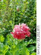 Купить «Розовый пионовидный махровый мак цветет на клумбе в летнем саду», фото № 33202811, снято 18 июля 2018 г. (c) Елена Коромыслова / Фотобанк Лори