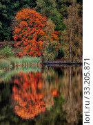 Купить «roter Ahorn im Herbst am Wasser», фото № 33205871, снято 7 августа 2020 г. (c) PantherMedia / Фотобанк Лори