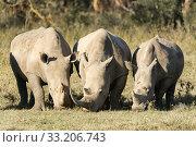 kenya rhino 34128. Стоковое фото, фотограф Erich Schmidt / PantherMedia / Фотобанк Лори