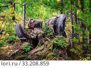 Купить «Old, mossy stump in the coniferous forest, overgrown with grass and lingonberries. Altai Republic, Russia», фото № 33208859, снято 17 сентября 2019 г. (c) Вадим Орлов / Фотобанк Лори