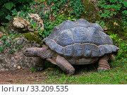 Aldabra giant tortoise (Aldabrachelys gigantea / Testudo gigantea) native to the islands of the Aldabra Atoll in the Seychelles. Captive. Стоковое фото, фотограф Philippe Clement / Nature Picture Library / Фотобанк Лори