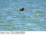 Купить «great cormorant (phalacrocorax carbo) in flight on the baltic coast of rügen», фото № 33209859, снято 6 апреля 2020 г. (c) PantherMedia / Фотобанк Лори