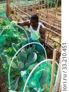Купить «African farmer near beds with cabbage», фото № 33210451, снято 16 июля 2020 г. (c) Яков Филимонов / Фотобанк Лори