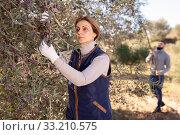 Купить «Woman gathering harvest of olives», фото № 33210575, снято 26 февраля 2020 г. (c) Яков Филимонов / Фотобанк Лори