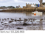 France, Finistere, Pagan Country, Coast of Legends, Brignogan-Plages, Village, Brant, or brent goose (Branta bernicla), eating seaweed at low tide. Стоковое фото, фотограф Morales / age Fotostock / Фотобанк Лори