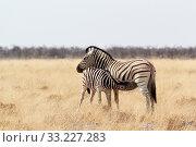 Купить «Zebra foal with mother in african bush», фото № 33227283, снято 4 августа 2020 г. (c) PantherMedia / Фотобанк Лори