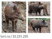 wild boars - boar boar bache. Стоковое фото, фотограф Gerald Kiefer / PantherMedia / Фотобанк Лори