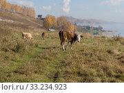 Купить «Коровы пасутся в жёлтой пожухлой траве на окраине деревни, на берегу озера осенью», фото № 33234923, снято 28 сентября 2018 г. (c) Светлана Попова / Фотобанк Лори