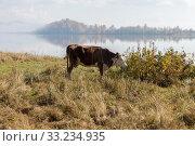 Купить «Корова пасётся в жёлтой пожухлой траве на берегу озера поздней осенью», фото № 33234935, снято 28 сентября 2018 г. (c) Светлана Попова / Фотобанк Лори