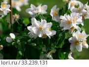 jasmine flowers. Стоковое фото, фотограф Anna Kalaschnikow / PantherMedia / Фотобанк Лори