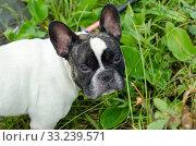 Купить «Dog, French bulldog», фото № 33239571, снято 5 июля 2020 г. (c) PantherMedia / Фотобанк Лори