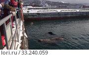People watching for group wild animals Northern Sea Lion swimming in ocean (2019 год). Редакционное видео, видеограф А. А. Пирагис / Фотобанк Лори