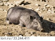 Sleeping Wild Boar. Стоковое фото, фотограф Sergej Razvodovskij / PantherMedia / Фотобанк Лори