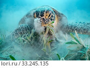 Green turtle (Chelonia mydas) feeding on Seagrass (Halophila stipulacea), blowing sand out of nostrils, on sea floor. Marsa El Shouna, Marsa Alam, Egypt. Стоковое фото, фотограф Alex Mustard / Nature Picture Library / Фотобанк Лори
