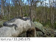 Купить «Inland Carpet Python (Morelia spilota metcalfei) adult basking on fallen log, Mount Meg, Victoria, Australia.», фото № 33245675, снято 31 марта 2020 г. (c) Nature Picture Library / Фотобанк Лори