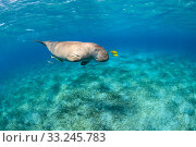 Dugong (Dugong dugon) male swimming over Seagrass meadow (Halophila stipulacea) accompanied by a young Golden trevallies (Gnathanodon speciosus). Marsa Mubarak, Marsa Alam, Egypt. Red Sea. Стоковое фото, фотограф Alex Mustard / Nature Picture Library / Фотобанк Лори