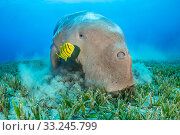 Dugong (Dugong dugon) male feeding on a seagrass meadow (Halophila stipulacea), accompanied by a young Golden trevally (Gnathanodon speciosus). Marsa Nabaa, Marsa Alam, Egypt. Red Sea. Стоковое фото, фотограф Alex Mustard / Nature Picture Library / Фотобанк Лори