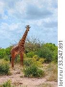 Купить «giraffe in the Masai Mara», фото № 33247891, снято 13 июля 2020 г. (c) PantherMedia / Фотобанк Лори
