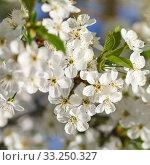 Купить «white flowers blooming on branch», фото № 33250327, снято 29 февраля 2020 г. (c) PantherMedia / Фотобанк Лори