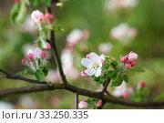 Купить «white flowers blooming on branch», фото № 33250335, снято 29 февраля 2020 г. (c) PantherMedia / Фотобанк Лори