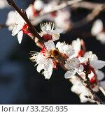 Купить «Blossoming branch with flower of cherry tree and a honey bee», фото № 33250935, снято 29 февраля 2020 г. (c) PantherMedia / Фотобанк Лори