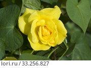 Купить «Gelbe Edelrose, rosa», фото № 33256827, снято 29 мая 2020 г. (c) PantherMedia / Фотобанк Лори