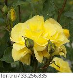Купить «Gelbe Edelrose, rosa», фото № 33256835, снято 29 мая 2020 г. (c) PantherMedia / Фотобанк Лори
