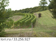 Weinstoecke, Kaiserstuhl. Стоковое фото, фотограф Manfred Ruckszio / PantherMedia / Фотобанк Лори