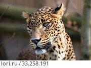 Купить «portrait of Persian leopard», фото № 33258191, снято 13 июля 2020 г. (c) PantherMedia / Фотобанк Лори