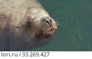 Купить «Wild animal marine mammal Steller Sea Lion swimming in cold water Pacific Ocean», видеоролик № 33269427, снято 28 февраля 2020 г. (c) А. А. Пирагис / Фотобанк Лори