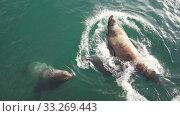 Купить «Group wild animal marine mammal Steller Sea Lion swimming in water Pacific Ocean», видеоролик № 33269443, снято 28 февраля 2020 г. (c) А. А. Пирагис / Фотобанк Лори