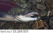 Купить «Wild red salmon fish Sockeye Salmon swimming in shallow water in river, breathes heavily. Slow motion, close-up view», видеоролик № 33269551, снято 28 октября 2019 г. (c) А. А. Пирагис / Фотобанк Лори