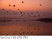 Купить «Common cranes (Grus grus) leaving the roost at dawn, Hula Valley, Northern Israel, January», фото № 33270751, снято 30 марта 2020 г. (c) Nature Picture Library / Фотобанк Лори