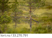 Купить «Osprey (Pandion haliaetus) in flight, Finland, July.», фото № 33270791, снято 14 июля 2020 г. (c) Nature Picture Library / Фотобанк Лори