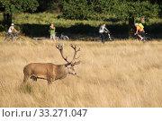 Купить «Red deer (Cervus elaphus) with people bicycling behind, Richmond Park, London, England, UK. October.», фото № 33271047, снято 11 июля 2020 г. (c) Nature Picture Library / Фотобанк Лори