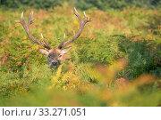 Купить «Red deer (Cervus elaphus) Richmond Park, London, England, UK. October.», фото № 33271051, снято 11 июля 2020 г. (c) Nature Picture Library / Фотобанк Лори