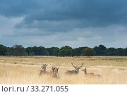 Red deer (Cervus elaphus) stag with harem, Richmond Park, London, England, UK. Стоковое фото, фотограф Edwin Giesbers / Nature Picture Library / Фотобанк Лори