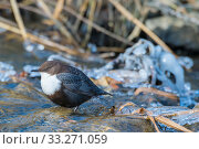 Купить «Eurasian dipper (Cinclus cinclus) The Netherlands. January.», фото № 33271059, снято 4 апреля 2020 г. (c) Nature Picture Library / Фотобанк Лори