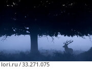 Купить «RF - Red deer (Cervus elaphus) under tree silhouetted in mist, Richmond Park, London, England, UK. October. (This image may be licensed either as rights managed or royalty free.)», фото № 33271075, снято 9 июля 2020 г. (c) Nature Picture Library / Фотобанк Лори