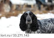 Купить «Portrait of a hunting dog breed purebred spaniel», фото № 33271143, снято 15 февраля 2020 г. (c) Яна Королёва / Фотобанк Лори