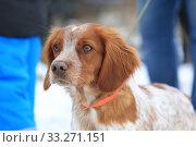 Купить «Portrait of a dog of hunting breeds spaniel», фото № 33271151, снято 15 февраля 2020 г. (c) Яна Королёва / Фотобанк Лори