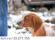 Купить «Portrait of a hunting dog breed purebred spaniel», фото № 33271155, снято 15 февраля 2020 г. (c) Яна Королёва / Фотобанк Лори