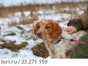 Купить «Portrait of a purebred spaniel hunting dog next to the owner», фото № 33271159, снято 15 февраля 2020 г. (c) Яна Королёва / Фотобанк Лори