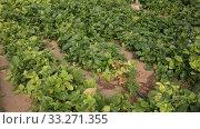 Купить «Plantation of fresh spinach in orangery», видеоролик № 33271355, снято 29 октября 2019 г. (c) Яков Филимонов / Фотобанк Лори